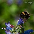 Picture Title - Bumblebee