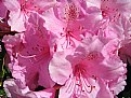 Picture Title - Rhododendron