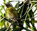 Picture Title - Grey Headed Woodpecker