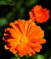 Picture Title - Marigold