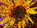 Picture Title - Colorful Sunflower