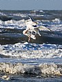 Picture Title - Fighting seagulls