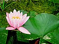 Picture Title - Water lily!