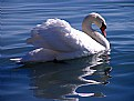 Picture Title - swan