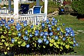 Picture Title - Blue Morning Glories