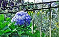 Picture Title - Hortensia & Fence