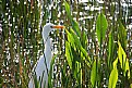 Picture Title - The Great Egret