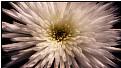 Picture Title - starflower