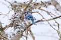 Picture Title - Blue Jay