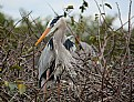 Picture Title - The Great Blue Heron