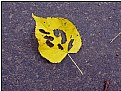 Picture Title - nibbled yellow leaf