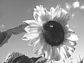 Picture Title - Sunflower...