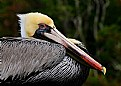 Brown Pelican Breeding Plumage