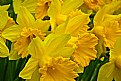 Picture Title - full of daffs