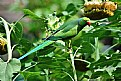 Picture Title - Rose Ringed Parakeet