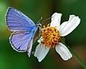 Picture Title - Ceraunus Blue