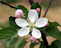 Picture Title - It's Apple Blossom Time!