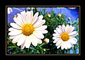 Picture Title - Dasies