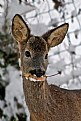 Picture Title - Deer in Snow