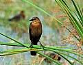 Picture Title - Young Grackle