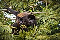 Picture Title - Howler Monkey Family