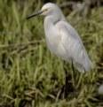 Picture Title - Egret