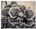 Picture Title - zebra