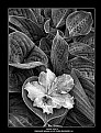 Picture Title - Among Hosta