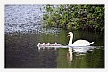 Picture Title - swans