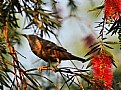 Picture Title - Chestnut-Tailed Starling