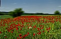 Picture Title - poppy