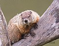 Picture Title - Wood chuck