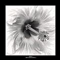 Picture Title - Hibiscus