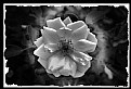 "Picture Title - ""Rose in B&W"""