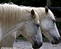 Picture Title - White horses