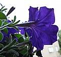 Picture Title - Petunia