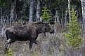 Picture Title - Mr Moose