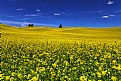 Sea of Yellow Canola