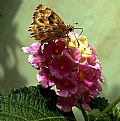 Picture Title - Drinking Nectar