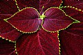 Picture Title - Coleus Leaves