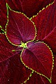Picture Title - Coleus Leaves No.2
