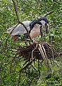Picture Title - Boat Billed Herons