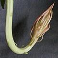 Picture Title - Leaf Cactus Flower