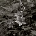 Picture Title - bellflower