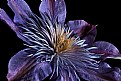 Picture Title - clematis up close