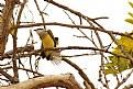 "Picture Title - ""Western Kingbird"""