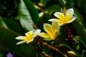 Picture Title - Maui Plumeria