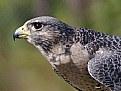 Picture Title - Peregrine Falcon