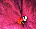Picture Title - Geraniums on velvet