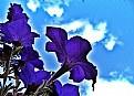 Picture Title - Petunias vs sky